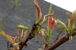 скручиваются листья у персика