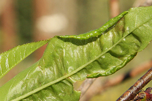 скрутились листья у персика