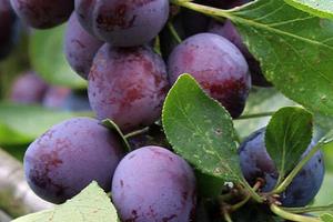 слива не дает плоды
