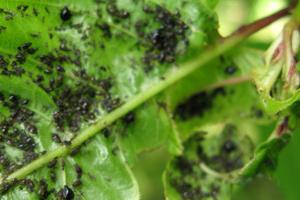 тля на листьях черешни