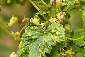 тля на смородине во время цветения