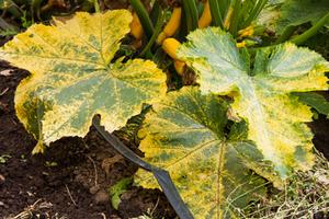 у кабачка желтеют листья