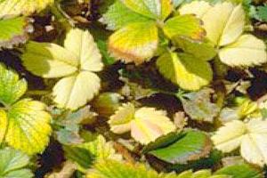 у клубники пожелтели листья