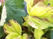 Что делать, если у клубники начали желтеть листья?