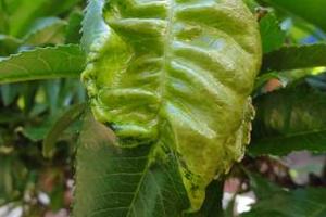 у персика скрутились листья