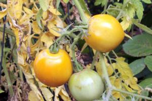 у помидоров желтеют листья