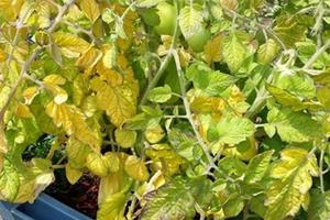 у томатов желтеют листья