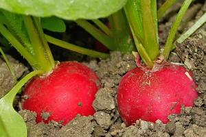в теплице выращивание редиса