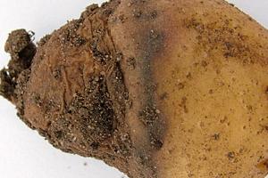 в земле гниет картофель