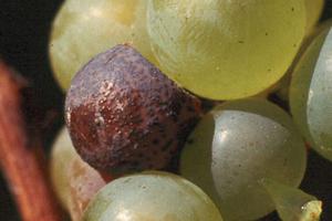 виноград чернеет