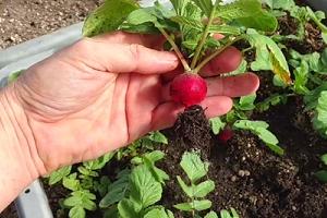 выращивание редиса в неотапливаемой теплице