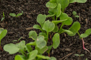 Технология выращивания редиса в теплице