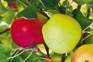 яблоня не дает плоды