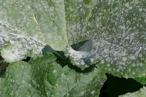 белый налет на листьях кабачков лечение