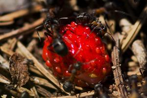черные муравьи на грядке с клубникой