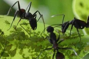 черные муравьи на огуречной грядке