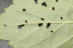 дырочки на листьях малины