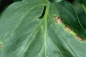 дырочки на листьях перца в теплице