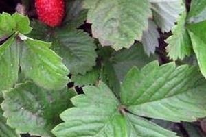 дырочки в листьях клубники