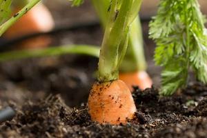глубина посадки моркови весной
