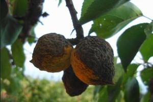 гниет абрикос на дереве причины