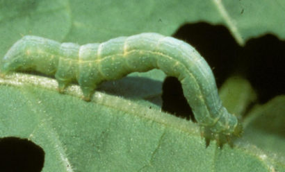 Как защитить капусту от гусениц?