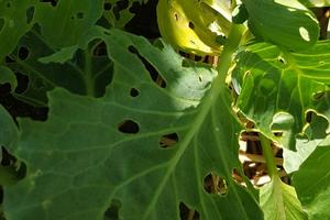 гусеницы едят листья капусту