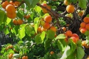 на дереве гниет абрикос
