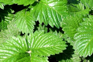 на листьях клубники дырочки