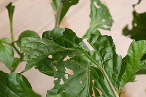 на листьях перца дырочки