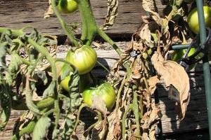 почернели листья у томатов