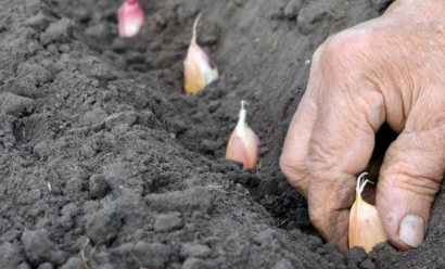 Можно ли высаживать чеснок весной?