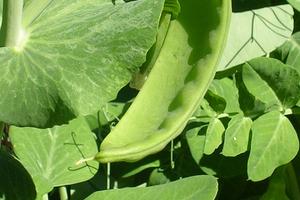 посадка гороха в открытый грунт весной