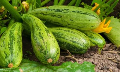 Посадка кабачков в открытый грунт — что необходимо знать огороднику?