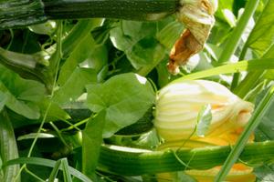 посадка кабачков в открытый грунт семенами