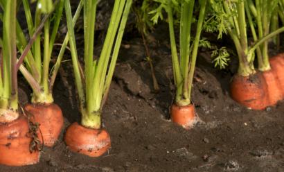 Какая глубина посадки моркови весной?
