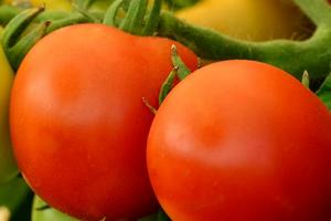 посадка томатов в открытый грунт поздней весной