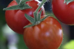посадка томатов в открытый грунт ранней весной