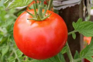 посадка томатов в открытый грунт весной