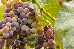 посадка винограда поздней весной