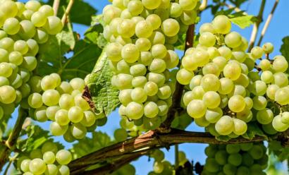 Что необходимо знать о посадке винограда весной?