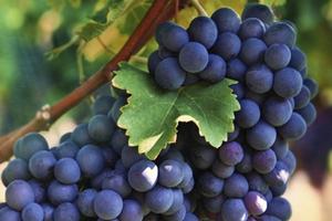 посадка винограда весной черенками