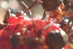 рыжие муравьи на грядке с клубникой