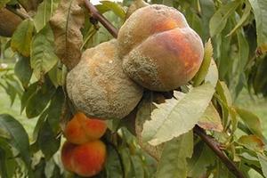у абрикоса вянут листья летом