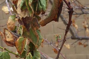 у абрикоса вянут листья