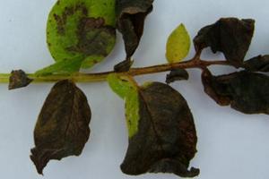 у помидор почернели листья