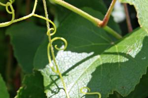 у винограда скручиваются листья причины