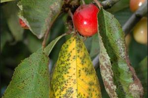 у вишни желтеют листья и опадают