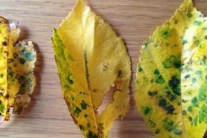 у вишни желтеют листья по краям