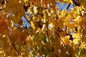 вянут листья у абрикоса причины